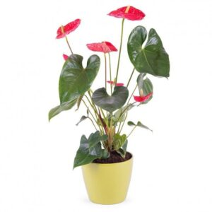 Kwiaty- anthurium